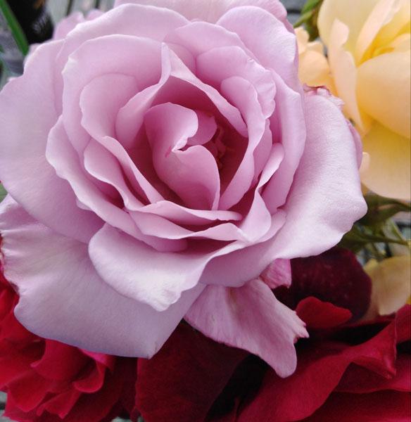 Blue rose (Caroline Brown)