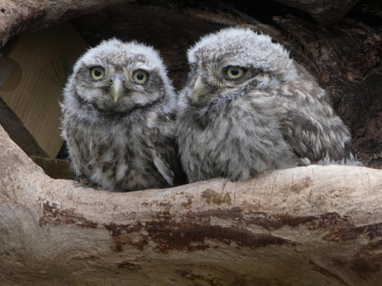 Double owls (Julia Forsyth)