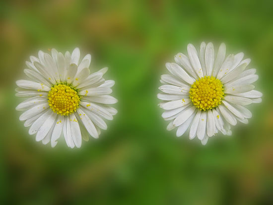 Double Daisies (Peter Shelley)