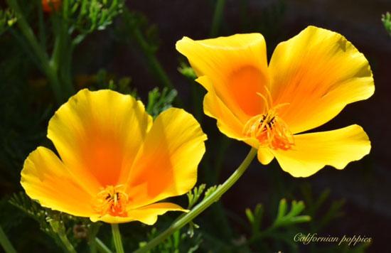 Californian Poppies (Robert Edmondson)