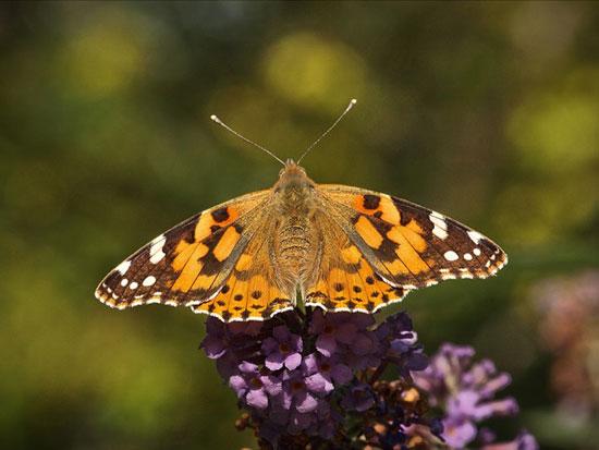September Butterfly (Peter Shelley)