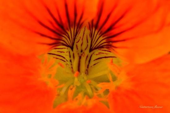 Robert-3-Nasturtium-Flower