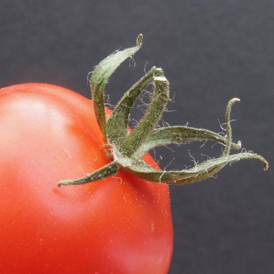 Cherry Tomato (Tony Pernet)